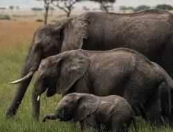 Seorang Turis Tewas Diserang Seekor Gajah Liar