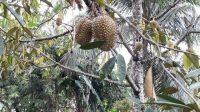 Dompet Dhuafa Serahkan Bibit Pohon Durian kepada Warga Blora