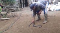 Empat Warga Gowa Meninggal Akibat Patukan Ular Kobra