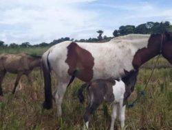 Sadis! Tiga Ekor Kuda Warga Barobbo Jeneponto, Raib di Godok Maling